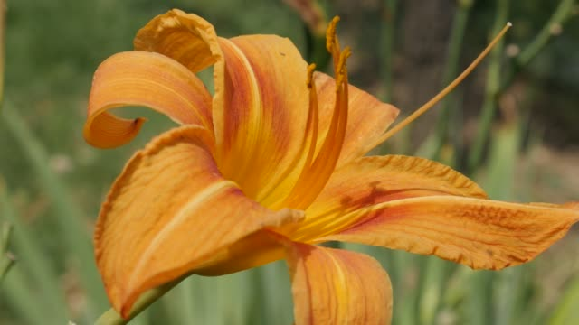 Close-up orange flower bud of Hemerocallis fulva tiger in the garden 4K