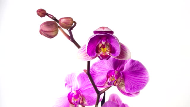 Closeup orchid flower blossom growing time-lapse on white background video
