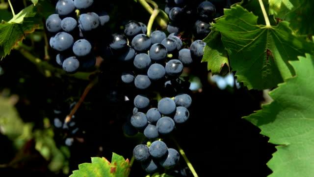 vidéos et rushes de panorama de plan rapproché de la vigne avec des raisins foncés mûrs - en botte ou en grappe
