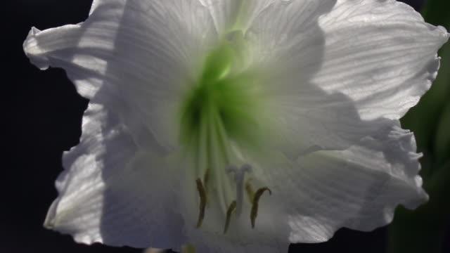 närbild panoramabild av eleganta vita amaryllis mot svart bakgrund. - amaryllis bildbanksvideor och videomaterial från bakom kulisserna