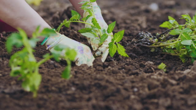closeup planting seedlings of tomatoes in the ground - origini video stock e b–roll