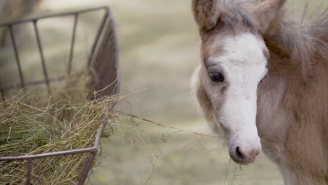 Close-up Pony or small horse eating hay stock grass