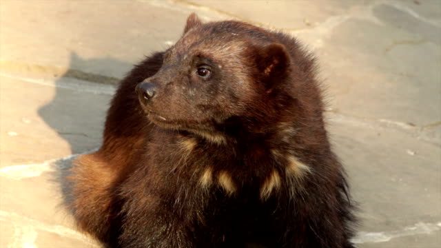 Closeup portrait of a wolverine (Gulo gulo) sniffing the air. video
