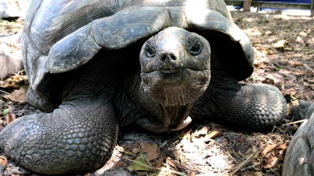 Close-up portrait of Aldabra giant tortoise Tortoise, Giant tortoise, Animal, Animal Eye, Animal Head seychelles giant tortoise stock videos & royalty-free footage