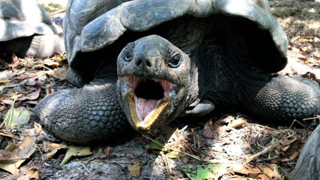 Close-up portrait of Aldabra giant tortoise Tortoise, Giant tortoise, Animal, Animal Eye, Animal Head reptile stock videos & royalty-free footage