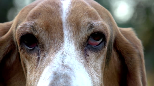 Close-up portrait of Basset hound with sad eyes