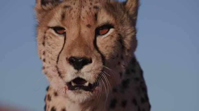 vídeos de stock, filmes e b-roll de retrato de close-up de 4k de chita - felino