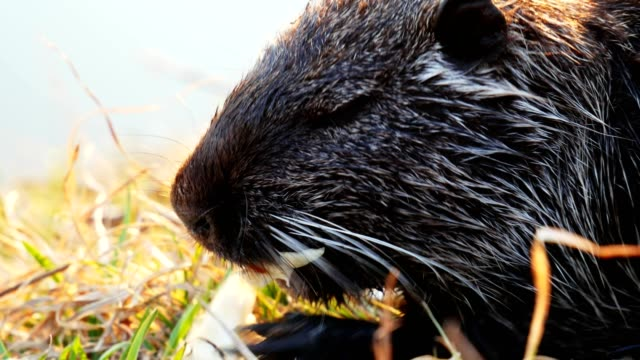 Close-up portrait of Coypu, nutria in the wild, eats Close-up portrait of Coypu, nutria in the wild, eats vegetables fur stock videos & royalty-free footage