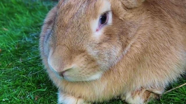 vidéos et rushes de gros plan: portrait de mignon lapin géant flamand - apprivoisé