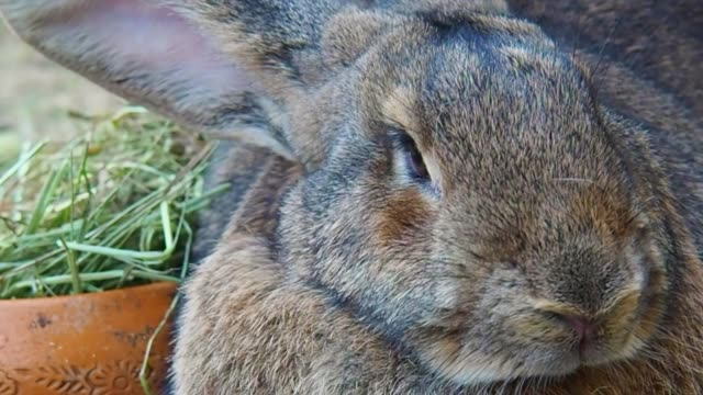 Close-Up : Portrait Of Cute Flemish Giant Rabbit Giant Rabbit In Muaklek Farm , Saraburi Province , Thailand giant fictional character stock videos & royalty-free footage
