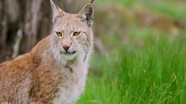 歐洲山貓坐在森林裡的特寫鏡頭 - 野生動物 個影片檔及 b 捲影像