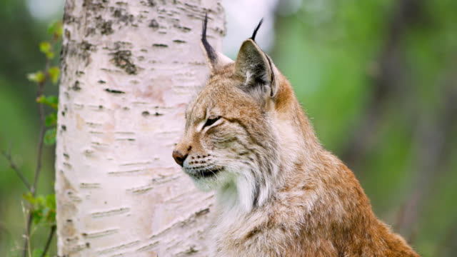 Close-up portrait of european lynx sitting in the forest