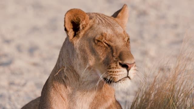 stockvideo's en b-roll-footage met close-up portret van leeuwin rondkijken, botswana - leeuwin