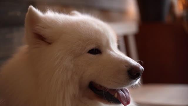 vídeos de stock e filmes b-roll de close-up portrait of white charming dog of the breed samoyed - samoiedo