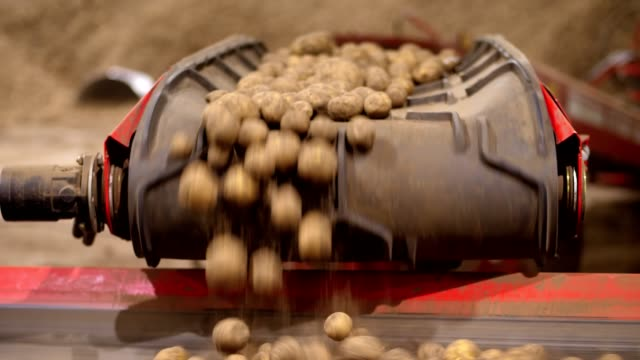 close-up, potato tubers on sorting conveyor belt, in warehouse. sorting and transportation of potato harvest to processing plant. Potatoes storage. food industry video