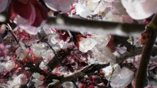 APPLE BLOSSOM : close-up, quadrilateral dense (seamless loopable) video