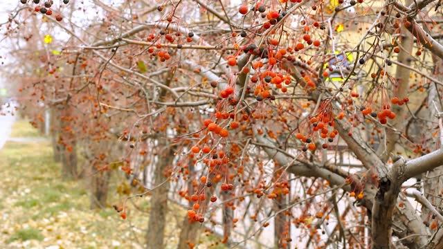 Closeup red autumn berries of crab apples, Malus Baccata, on shrubbery trees along sidewalk by road