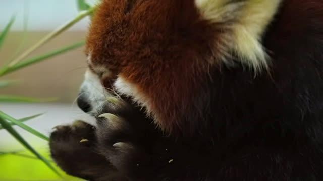 closeup red panda chews on food video