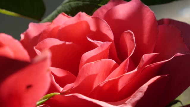 Close-up red rose bud petals on the wind outdoor 4K 2160p UltraHD footage - Red rose plant lighted naturally in the garden 4K 3840X2160 UHD video