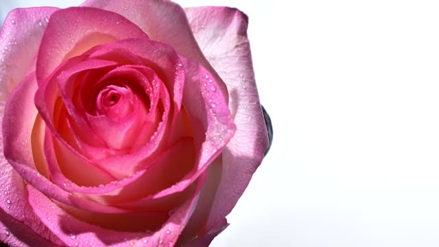 Closeup shoot of stunning pink rose with raindrops on its petals with the background isolated on white