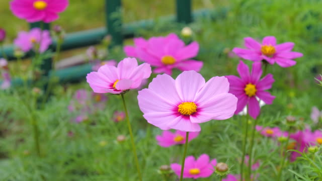 Close-up shot nature blooming cosmos flower select focus shallow depth of field