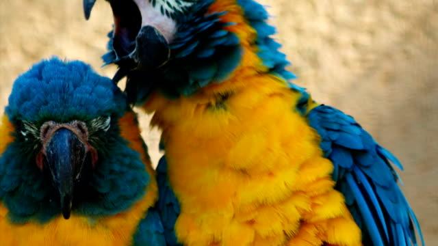 Closeup shot of 2 blue-throated macaws - ara glaucogularis - posing for the camera video