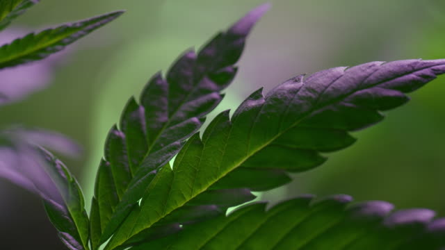 close-up shot of a marijuana (cannabis) leaf underneath a purple light indoors (hemp) - narcotico video stock e b–roll