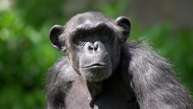 vidéos et rushes de plan rapproché d'un singe entouré d'une flore riche floue pendant une journée ensoleillée. le chimpanzé prenant un regard triste long, tournant la tête de côté, puis à nouveau regarder vers l'avant. uhd - zoo