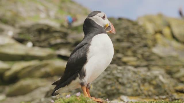 Closeup Shot Of Atlantic Puffin On Skellig Michael Island video