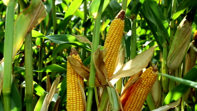 Close-up shot of corn on the cob in the agricultural field.