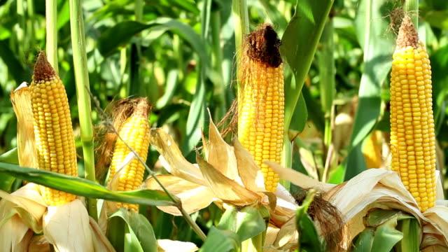 vidéos et rushes de plan rapproché de maïs sur l'épi dans le champ agricole. - tige d'une plante