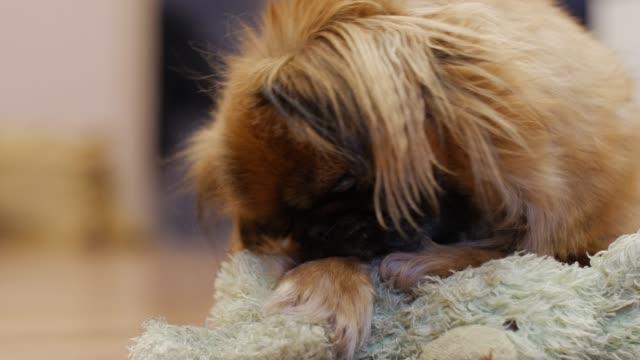 Bидео Close-up shot of dog biting and playing rug