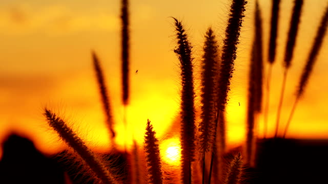 Closeup shot of Grass flowers in the wind, Sunset