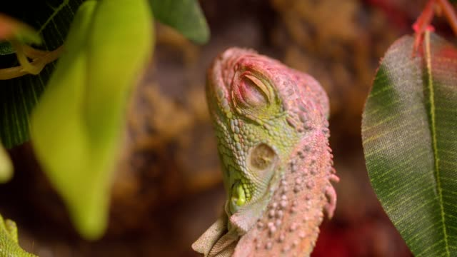 Close-up shot of green iguana open and closes eyes being calm and peaceful in terrarium.
