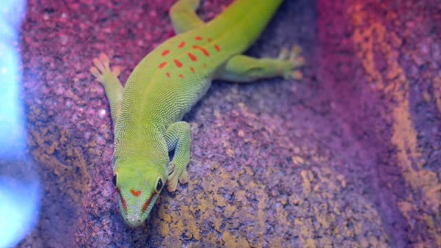 Close-up shot of green reptile sitting on the stone and sharply moving in zooligical terrarium.