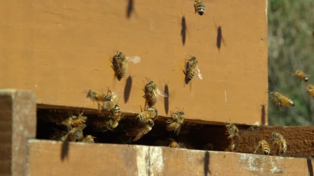 close-up shot of honeybees swarming around the entrance to a beehive outdoors on a sunny day - опыление стоковые видео и кадры b-roll