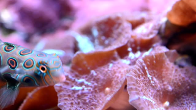 Close-up shot of Mandarinfish undersea Close-up shot of Mandarinfish undersea coral cnidarian stock videos & royalty-free footage