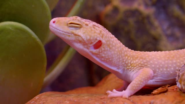 Close-up shot of white albinos iguana with closed eyes being calm in zoological terrarium moves slowly. Close-up shot of white albinos iguana with closed eyes being calm in zoological terrarium moves slowly gecko stock videos & royalty-free footage