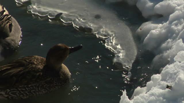Close-up shotducks on the frozen river video