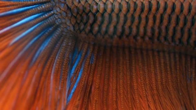 vidéos et rushes de gros plan: poisson combattant siamois peaux - nageoire caudale