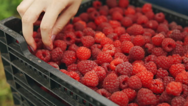 close-up sliding shot of a young woman's hand picking raspberries on a box full of raspberries stock video