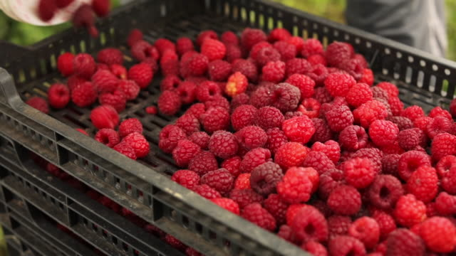 close-up sliding shot of pouring raspberries from a bucket to box full of raspberries stock video