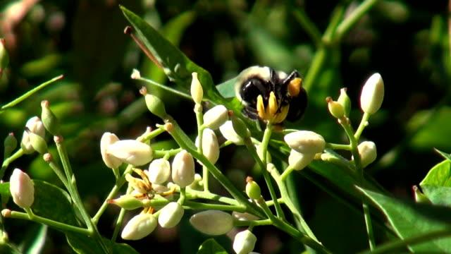 Close-up Spring Bumblebee pollenating