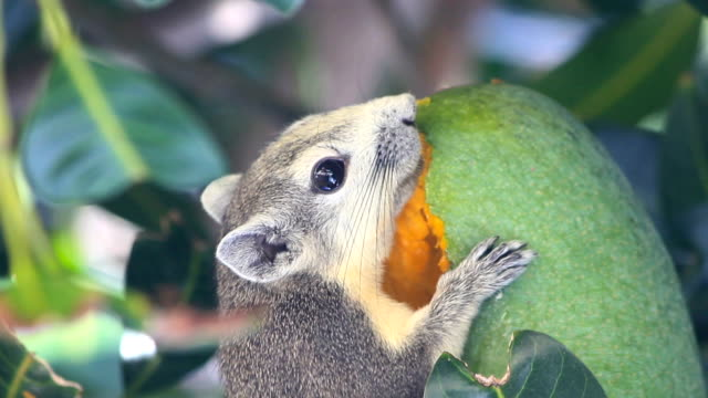 closeup squirrel on the tree and eat a mango fruit