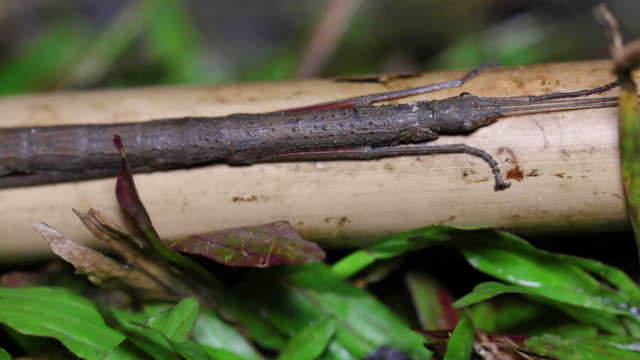Closeup stick insect or Phasmids (Phasmatodea or Phasmatoptera) sitting on a wood.