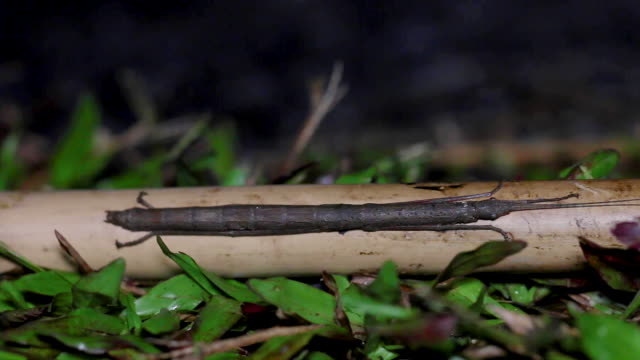 Closeup stick insect or Phasmids sitting on a wood