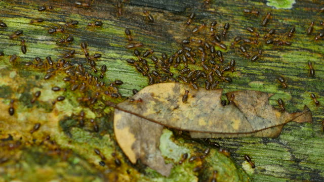 Close-up termites parade on wood. video