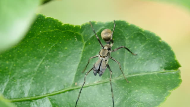 Close-up the Black Ant Mimicking Jumping spider on green leaf. video