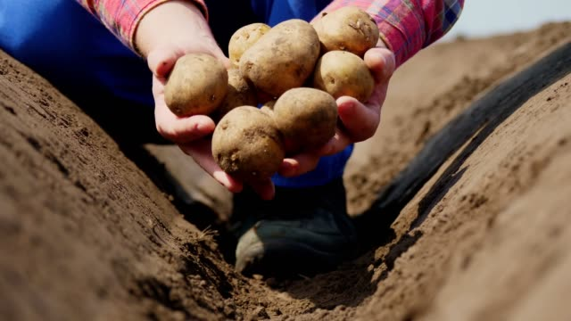 close-up, the farmer holds potato tubers in his hands. Potato harvest or potatoe planting, modern agriculture, farming. Eco farm in the countryside close-up, the farmer holds potato tubers in his hands. Potato harvest or potatoe planting, modern agriculture, farming. Eco farm in the countryside tuber stock videos & royalty-free footage