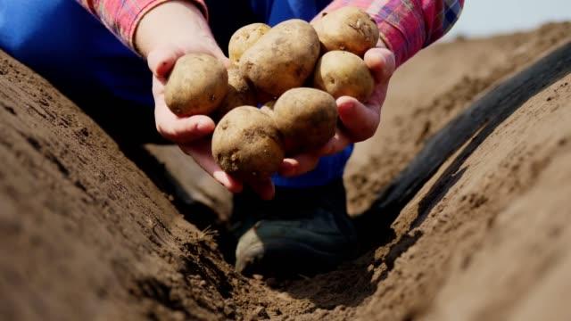 nahaufnahme hält der landwirt kartoffelknollen in den händen. kartoffelernte oder kartoffelpflanzung, moderne landwirtschaft, landwirtschaft. öko-bauernhof auf dem land - knollig stock-videos und b-roll-filmmaterial